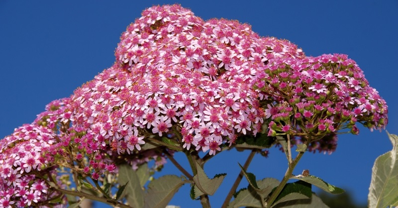 Flor de mayo leñosa (Pericallis hadrosoma)
